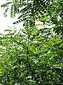 Starr-090623-1461-Adenanthera pavonina-leaves-Nahiku-Maui (24873277721).jpg
