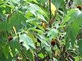 Starr-090720-3175-Tithonia diversifolia-habit near stream-Iao Stream-Maui (24674866580).jpg