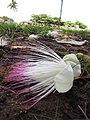 Starr-090813-4183-Barringtonia asiatica-flowers-Kamalii Park Kahului-Maui (24945742056).jpg