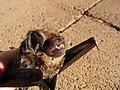 Starr-100907-9080-Eucalyptus sp-habitat with Hawaiian hoary bat Lasiurus cinereus semotus-Olinda-Maui (24420809794).jpg