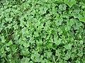 Starr-110331-4680-Delairea odorata-habit-Shibuya Farm Kula-Maui (24455230373).jpg