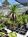 Starr-110524-5833-Argyroxiphium grayanum-in greenhouse-Haleakala National Park-Maui (24469186843).jpg