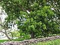 Starr-110601-6043-Carya illinoinensis-habit-Keokea-Maui (25070273276).jpg