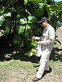 Starr-110627-6772-Artocarpus altilis-habit with Kim conducting little fire ant Wasmannia auropunctata survey-Waihee-Maui (24979219922).jpg