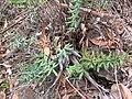 Starr-110705-6647-Pellaea ternifolia-habit-Waiale Gulch-Maui (24979913392).jpg