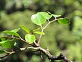 Starr-110929-0259-Polyscias oahuensis-leaves-Hanaula-Maui (24748587479).jpg