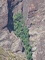 Starr-110929-9810-Syzygium cumini-habit on steep walls-Hanaula-Maui (25117342155).jpg