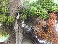 Starr-120522-6189-Roystonea regia-fruit-Iao Tropical Gardens of Maui-Maui (25143298085).jpg