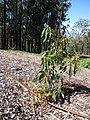 Starr-130201-1629-Persea americana-var Little Cado small plant-Hawea Pl Olinda-Maui (25205226545).jpg