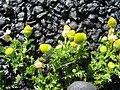 Starr-130801-2778-Matricaria discoidea-flowers-Summit HNP-Maui (24963521940).jpg