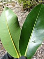 Starr-150401-0316-Calophyllum inophyllum-leaves-West Beach Sand Island-Midway Atoll (24645880743).jpg