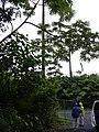 Starr 031118-0037 Cecropia obtusifolia.jpg