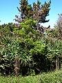 Starr 050216-4076 Pittosporum undulatum.jpg