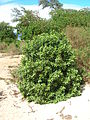 Starr 060305-6518 Myoporum sandwicense.jpg