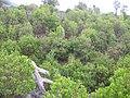 Starr 060325-9006 Pleomele auwahiensis.jpg