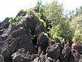 Starr 060422-7829 Casuarina equisetifolia.jpg