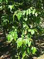 Starr 060703-8290 Eucalyptus deglupta.jpg