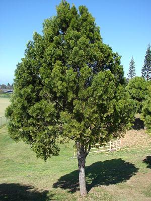 Afrocarpus gracilior - Image: Starr 061224 2830 Podocarpus sp