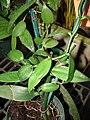 Starr 070906-8779 Vanilla planifolia.jpg