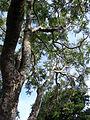 Starr 080417-4089 Jacaranda mimosifolia.jpg