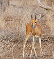 Steenbok (Raphicerus campestris) male (32380411184).jpg