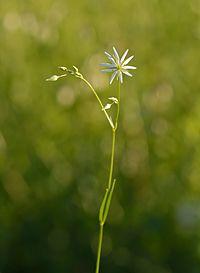 S. graminea, grässtjärnblomma