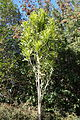 Stenocarpus sinuatus - Leaning Pine Arboretum - DSC05476.JPG