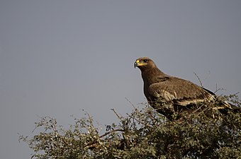 Steppe Eagle Aquila nipalensis Bikaner Jorbeed JEG5259.jpg