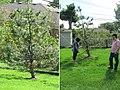 Steve Vigil tree 2016.jpg