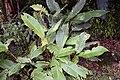 Strelitzia reginae 5zz.jpg