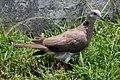 Streptopelia bitorquata -Saipan-8 (cropped).jpg
