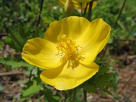 Stylophorum diphyllum - woodland poppy - desc-flower open.jpg