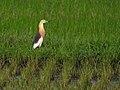 Sulawesi Javan pond heron trsr DSCN0956 v1.JPG