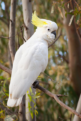 Sulphur-crested cockatoo - Perched in a tree in Victoria, Australia