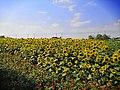 Sunflower field, Fengxian, Shanghai, Sept 27 2019 03.jpg