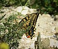 Swallow-tail. Papilio machaon. (30785875738).jpg