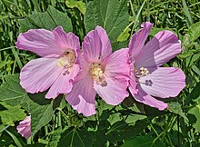 Swamp rose-mallow.jpg