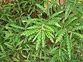 Sweet-fern (Huron Shores).JPG