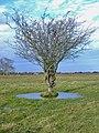 Swine Moor tree, Beverley - geograph.org.uk - 626401.jpg