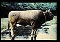 Swiss Brown = 世界の牛 スイス・ブラウン(雄) (36660261606).jpg