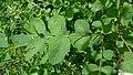 Symphoricarpos albus var. laevigatus 2.jpg
