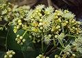 Syzygium caryophyllatum 38.JPG