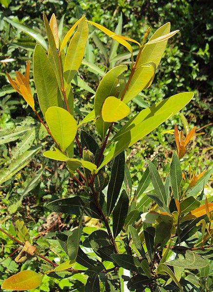പ്രമാണം:Syzygium salicifolium.jpg