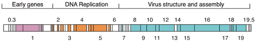 Schematic view of the phage T7 genome. Boxes are genes, numbers are gene numbers. Colors indicate functional groups as shown. White boxes are genes of unknown function or without annotation. Modified after [7]