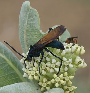 Tarantula hawk Species of wasps in the genera Pepsis and Hemipepsis