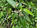 Tarenna asiatica-Asiatic Tarenna, Tharana, Pavattachedi, Kuppipoovu. .jpg