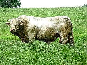 Bull - A Charolais bull.