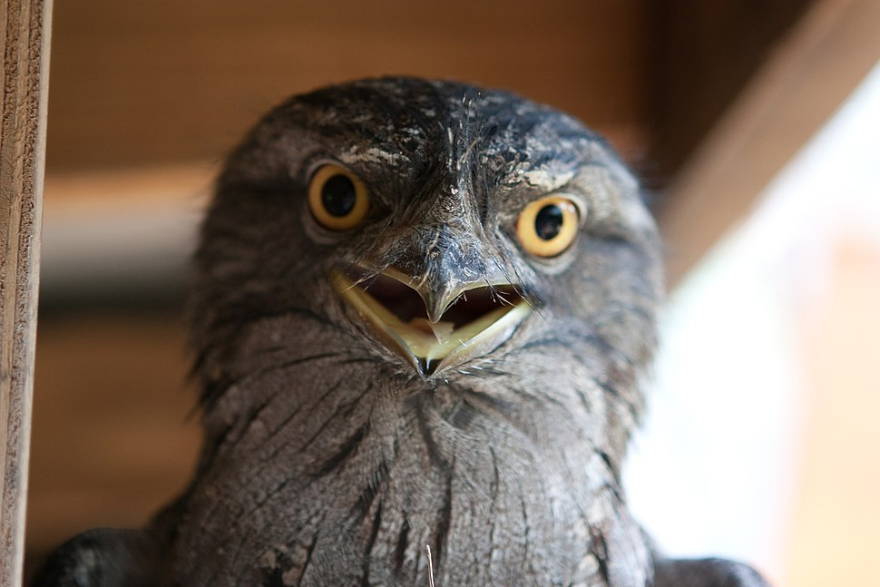 Tawny frogmouth front view