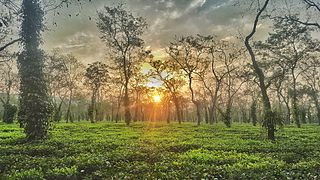 Tea gardens of Kaziranga National Park, Assam.jpg