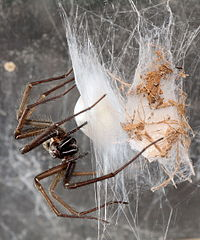 Giant House Spider Wikipedia